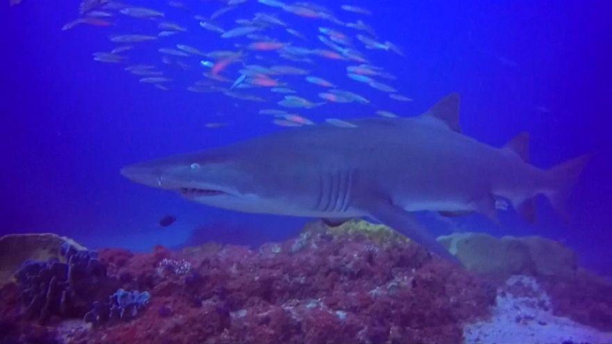 شاهد: مدرب غطس ينقذ سمكة قرش في أستراليا