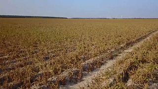 Le gouvernement allemand vient en aide à l'agriculture, ravagée par la sécheresse