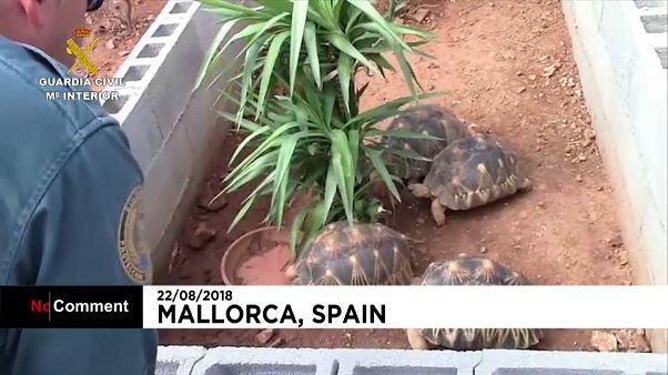 """Polícia espanhola encontra a """"maior"""" quinta ilegal de tartarugas da Europa"""