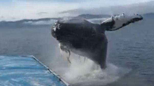 Watch: Whale stuns onlookers as it leaps next to boat