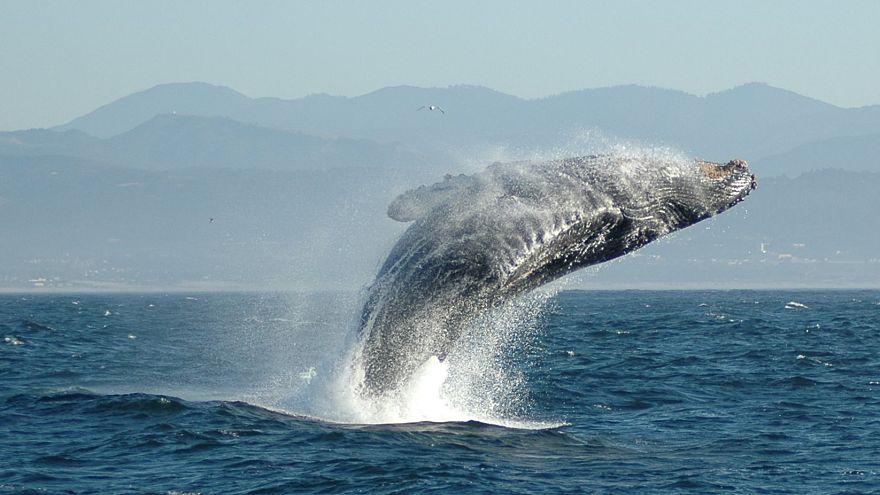VİDEO | Kambur balinadan turistlere sulu şaka
