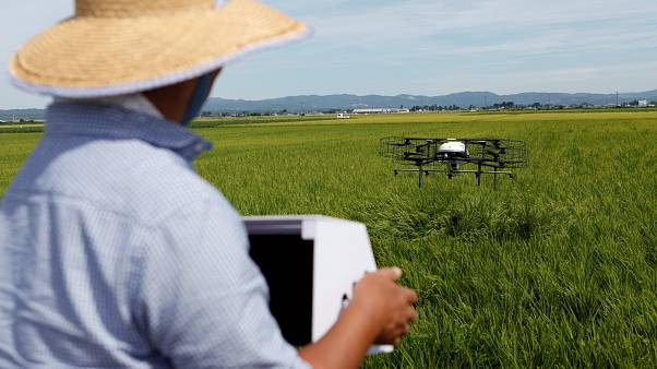 طائرة مسيرة من إنتاج شركة نايل ووركس تحلق فوق حقل أرز في مياجي باليابان