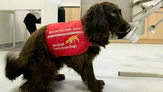 A bio-detection dog trained to detect diseases in urine samples.