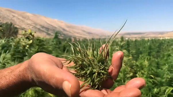 شاهد: باحثون لبنانيون يدرسون نبتة الحشيش لغايات طبية