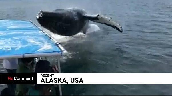 Baleia-corcunda supreende turistas no Alasca