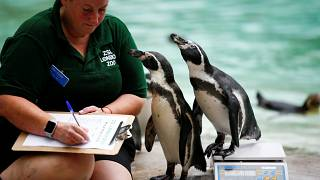 Watch: Animals take to scales in annual weigh-in