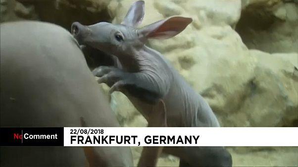 Watch: Baby aardvark revealed to public at Frankfurt Zoo
