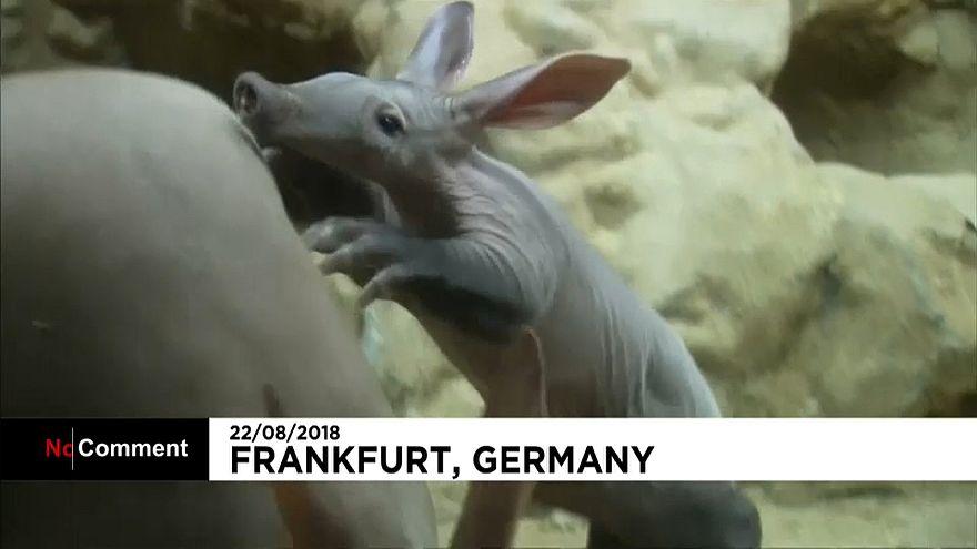 Germania: tutti pazzi per il baby tapiro