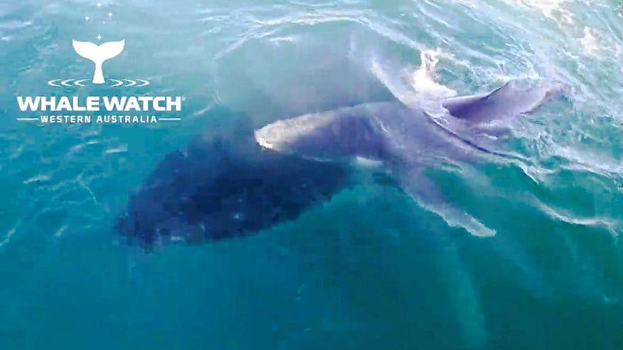 Baleia mãe e filhote apanhados a nadar junto a barco turístico na Austrália