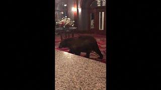 وقتی خرس مهمان ناخوانده هتل میشود