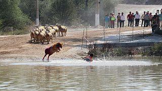 Sudan koyun geçirme yarışmasından renkli kareler