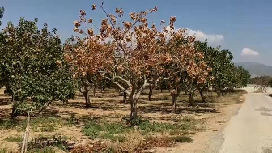 La cosecha de pistachos en Grecia en peligro por una nueva bacteria