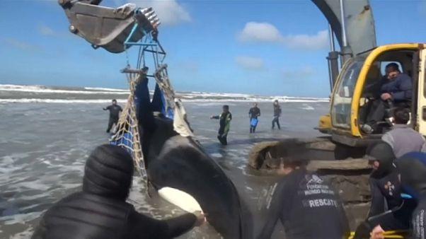 شاهد: عملية إنقاذ الحوت القاتل على ساحل الأرجنتين