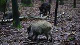 شاهد: الخنازير البرية تجتاح المزارع وتلتهم المحاصيل في فرنسا