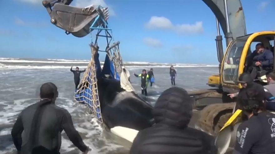 Gestrandete Wale gerettet