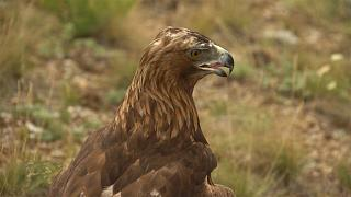 Το παραδοσιακό κυνήγι με τον αετό στο Καζακστάν