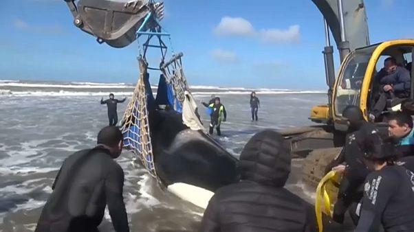 Emocionante rescate de varias orcas en Argentina