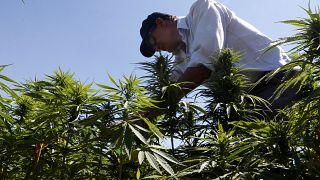 کشاورزان لبنانی و کشت غیرقانونی ماریجوانا