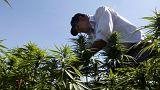 Kannabisz: a libanoni mezőgazdaság csodafegyvere