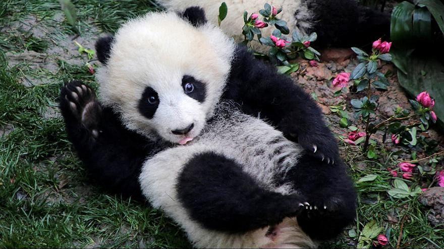 A Vienna la nuova star è un panda-pittore