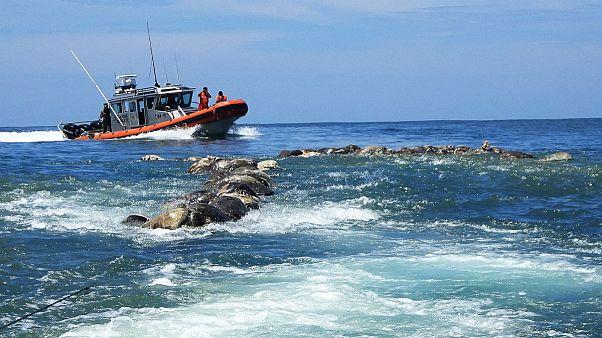 مرگ دسته جمعی صدها لاکپشت در حال انقراض در تور ماهیگیری