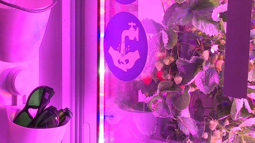 شاهد: تقنية فرنسية جديدة لزراعة الفراولة في الأماكن المغلقة