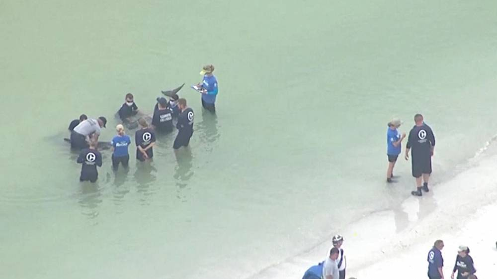 Watch: Rescuers save 2 distressed pygmy killer whales off Florida coast