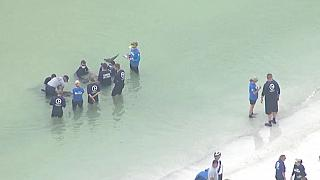 Watch: Rescuers save distressed pygmy killer whales off Florida coast