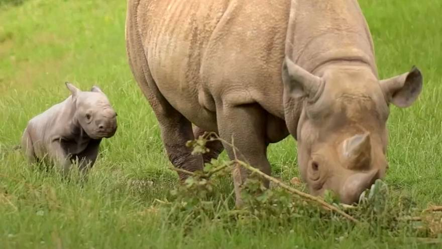 Watch: Researchers use rhino dung to save endangered species