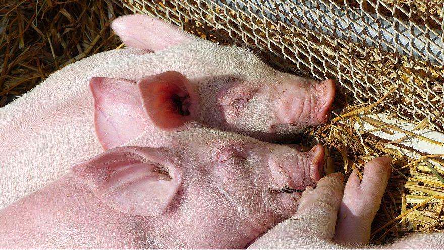 Çin'de salgın: En az 38 bin domuz itlaf edildi