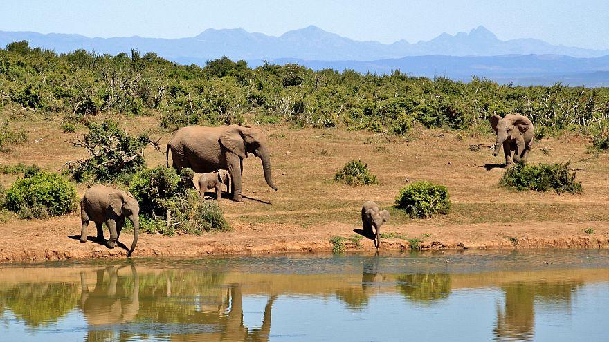 العثور على 87 فيلاً مقتولاً في بوتسوانا في مذبحة صيدٍ غير مسبوقة