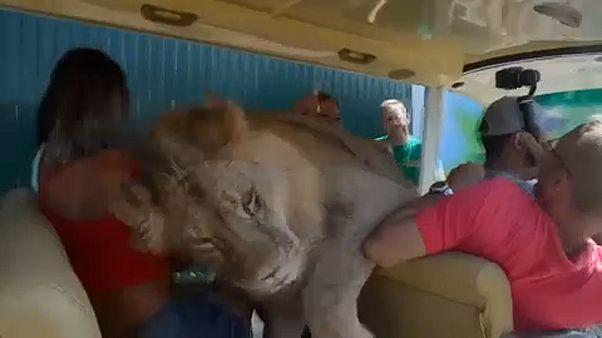 Löwe kuschelt im Safaripark mit Touristen