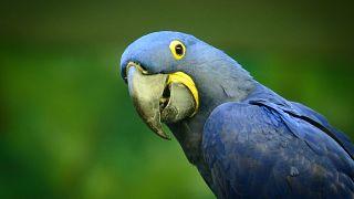 """الببغاء الأزرق بطل فيلم """"Rio"""" مهدد بالإنقراض"""