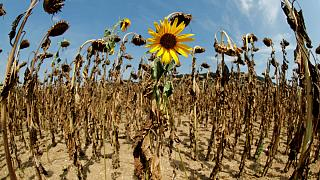 Dried-out sunflowers