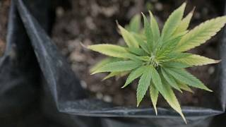 La yerba mate con cannabis florece en Uruguay