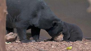El primer oso malayo nacido en el Reino Unido sale de su guarida