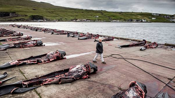 Carcasses of hunted Pilot whales in Jatnavegur, Faroe Islands