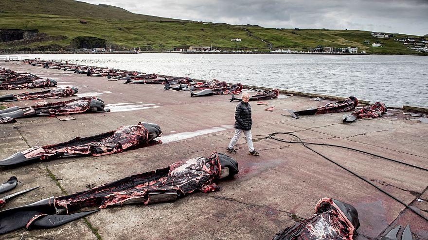 Carcasses of hunted Pilot whales in Jatnavegur, Faroe Islands