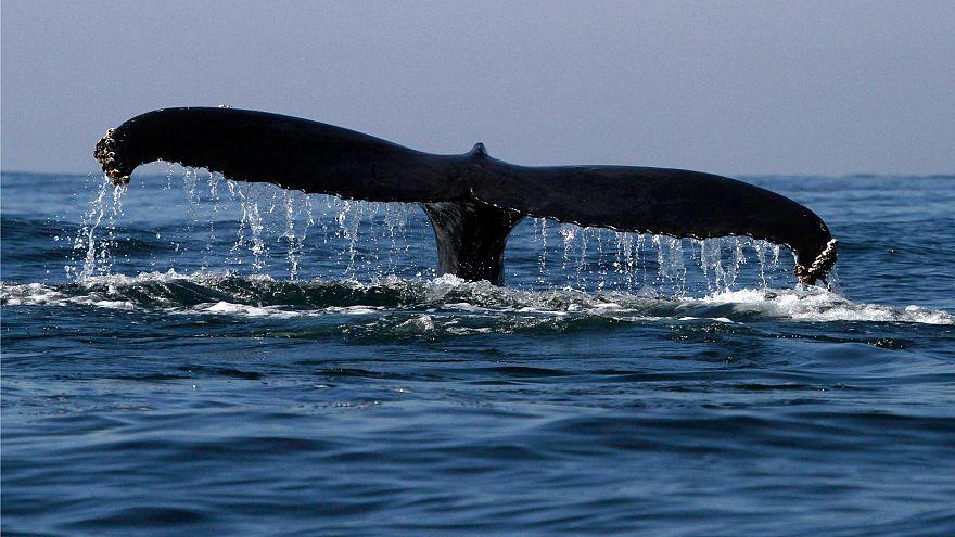 Resultado de imagem para Criação de santuário de baleias no Atlântico é rejeitada por comissão internacional