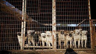 مقامات ویتنامی به پایتختنشینان هانوی: گوشت سگ نخورید