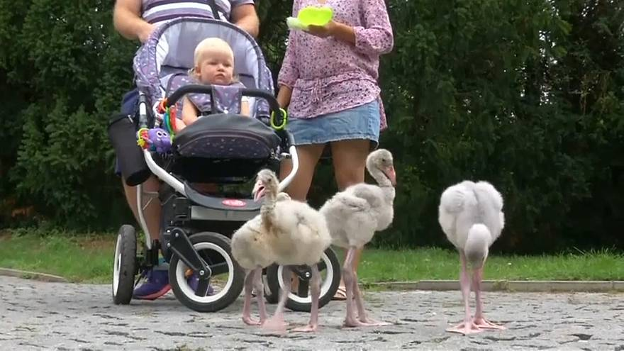 شاهد: صغار النحام الوردي تتجول بين الزوار في حديقة للحيوانات ببراغ