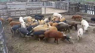 Uniós segítséget kért a román miniszterelnök a sertéspestis-járvány miatt