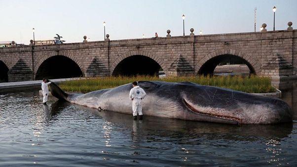 ¿Qué hace un cachalote varado en el río Manzanares de Madrid?