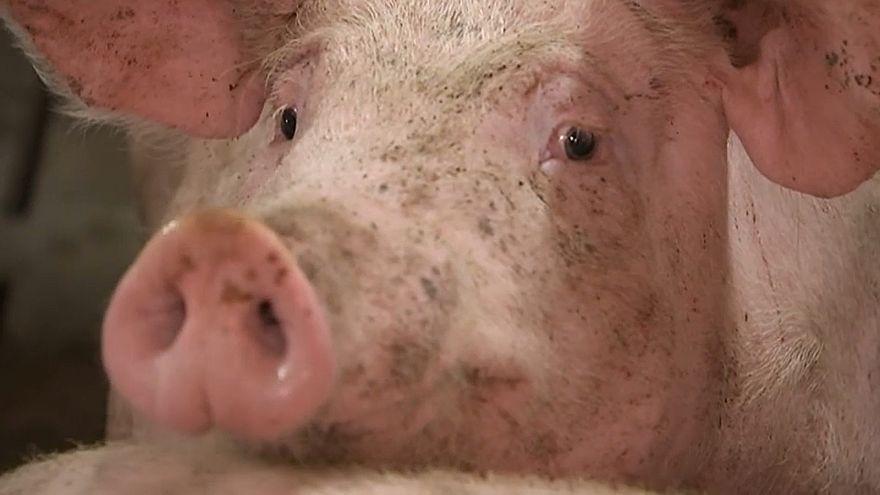 Schweinepest hat Belgien erreicht