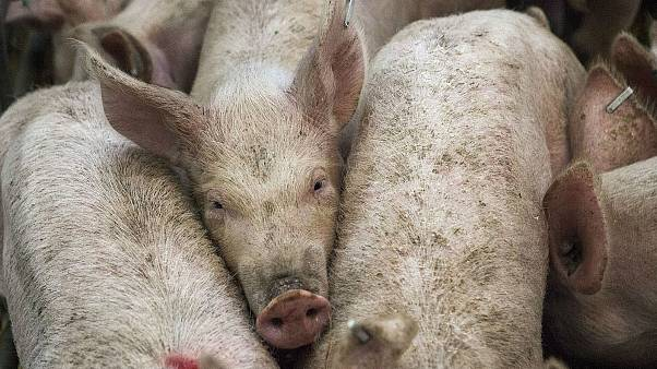 Belgium records first cases of African swine fever