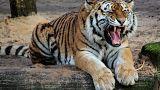 Hindistan'da 13 can alan kaplanı yakalamak ünlü avcıya düştü