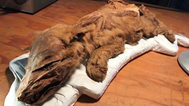Kanada'da 50 bin yıllık yavru kurt ve geyik sergide