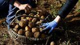 tarım patates