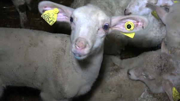 Maltraitance animale : ouverture du procès d'un abattoir à Pau