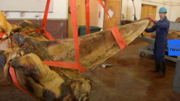 Watch: Museum staff show preservation process of whale skeleton